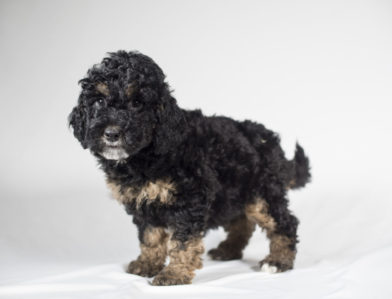 Bernedoodle Kennels Puppies Past Puppies Fall 2017