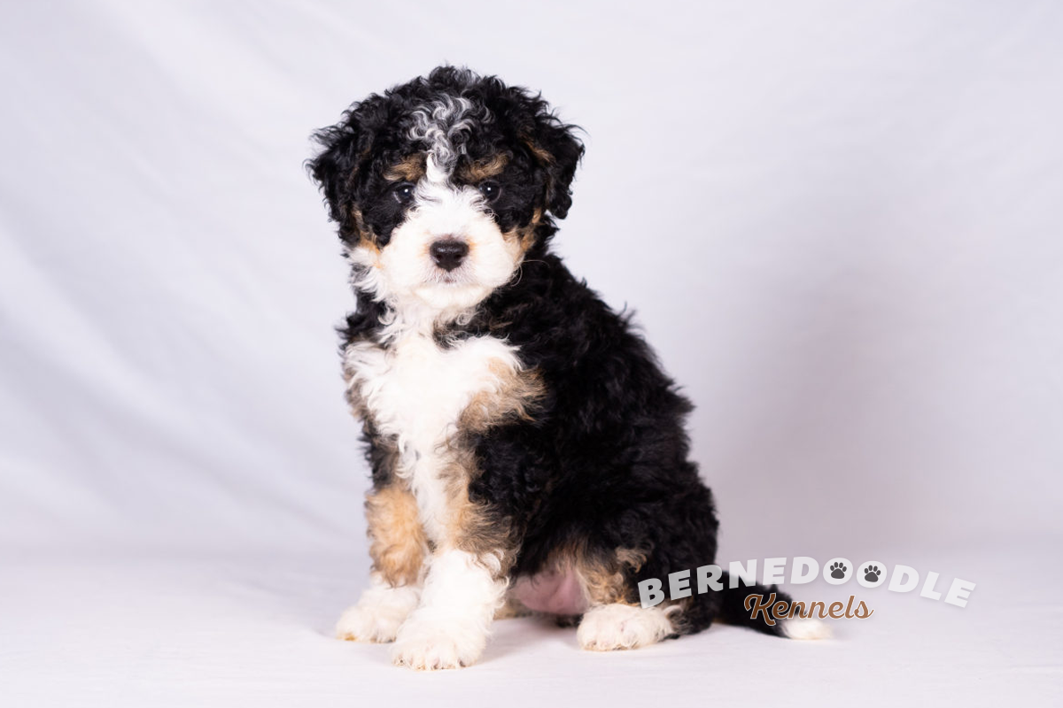 Bernedoodle Kennels F1b Mini Bernedoodle Puppies