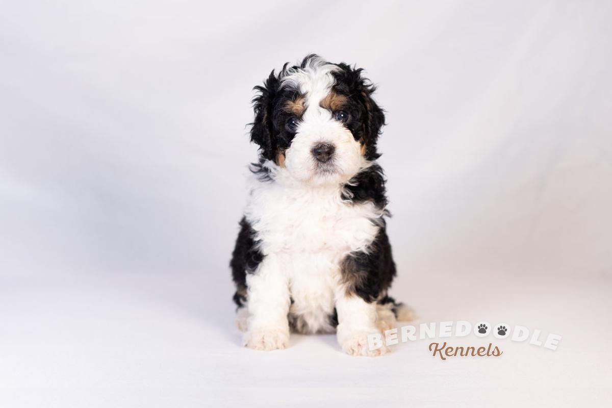 Bernedoodle Kennels F1b Mini Bernedoodle Puppies